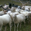 Ovce v košiari